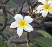 Frangipani flower. Plumeria tropical tree Stock Images