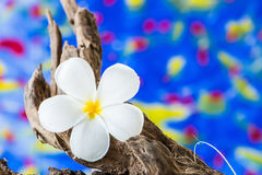 Frangipani flower (Plumeria) on wood Stock Photography