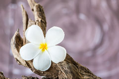 Frangipani flower (Plumeria) on wood Stock Photo