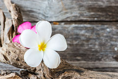 Frangipani flower (Plumeria) on wood Royalty Free Stock Images