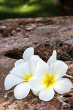 Frangipani flower on the rock Royalty Free Stock Photo