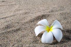 Frangipani flower on a sand beach Stock Image