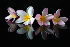 Frangipani flower on a sand beach Royalty Free Stock Image