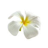 Frangipani flower with small water drops Royalty Free Stock Photo
