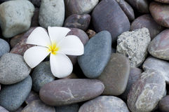 Frangipani flower on a stack Royalty Free Stock Images