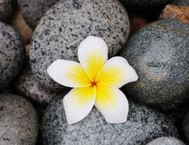 Frangipani flower on stones Stock Images