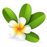 Frangipani flower. Summer spa frangipani, plumeria tropical flower with green leaves, bali, hawaii, vector editable illustration Stock Images