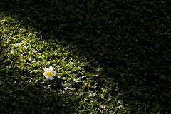 The frangipani flower in the sun on the grass. Small frangipani flower in the sun on the grass Royalty Free Stock Photo