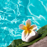 Frangipani flower, swimming pool Royalty Free Stock Image