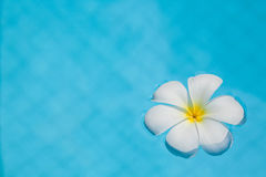 Frangipani flower in the swimming pool Stock Photos