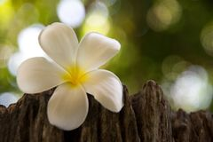 Frangipani is a flower of Thai`pa stock photo