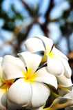 Frangipani flower Royalty Free Stock Images