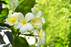 Frangipani flower on the tree Royalty Free Stock Photo