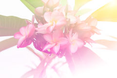 Frangipani flower on the tree. In nature. Pastel colors tone Stock Photography