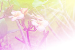 Frangipani flower on the tree. In nature. Pastel colors tone Royalty Free Stock Photography