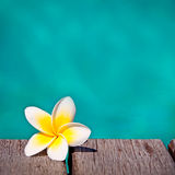 Frangipani flower, turquoise water Stock Photography