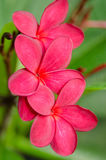 Frangipani. A flower used to symbolize peace and serenity Stock Image