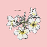 Frangipani flower vector. Frangipani hand drawing vintage style vector Royalty Free Stock Photo