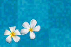 Frangipani flower in water Royalty Free Stock Photos