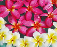 Frangipani flower on water Stock Images
