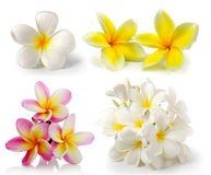Frangipani flower on white backgroun Stock Photo