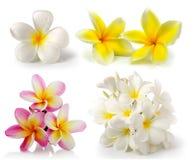 Frangipani flower on white backgroun Stock Photo