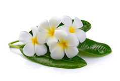 Frangipani flower  on white background Stock Photo