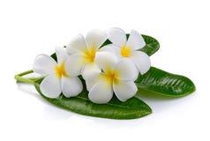 Frangipani flower  on white background Stock Photo