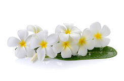 Frangipani flower on  white background Royalty Free Stock Photography