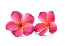 Frangipani flower on white background Royalty Free Stock Images