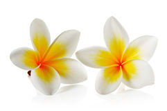 Frangipani flower on white background Stock Photos