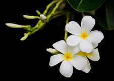 Frangipani flower. The white frangipani flower blooming in the black background Royalty Free Stock Image