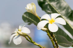 Frangipani flower. White frangipani flowers turn up the sun Stock Photography