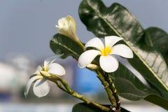 Frangipani flower. White frangipani flowers turn up the sun Stock Images