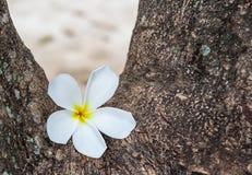 Frangipani flower white in the garden Royalty Free Stock Photos