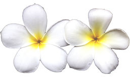 Frangipani flower on white ground Stock Photography
