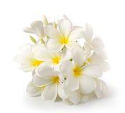 Frangipani flower on white on white background royalty free stock images