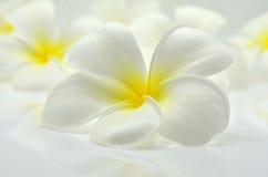 Frangipani flower. A white and yellow Plumeria flower Stock Photos