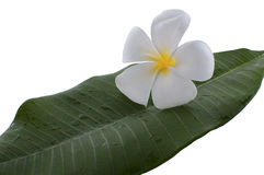 Frangipani flower with zen rocks with white background. Royalty Free Stock Photo