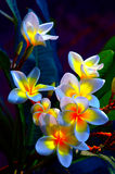 Frangipani Flowers. Group of beautiful frangipani flowers background Stock Photo