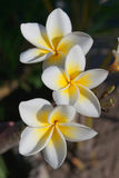 Frangipani flowers. Three flowers of frangipani (plumeria), tropical flower royalty free stock photography