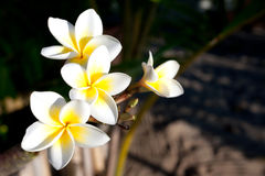Frangipani flowers. Three flowers of frangipani (plumeria), tropical flower stock photography