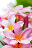 Frangipani flowers Stock Photo