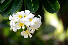 Frangipani flowers. Royalty Free Stock Photography