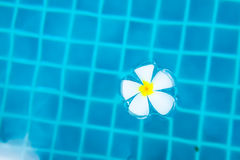 Frangipani flowers. Royalty Free Stock Photos
