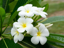 Frangipani flowers. On a tree in the garden Stock Images