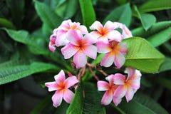 Frangipani flowers Royalty Free Stock Photography