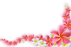 Frangipani flowers. Beautiful Frangipani flowers  - border design Stock Images