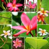 Frangipani flowers. Collection of beautiful Frangipani flowers Stock Image