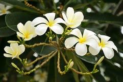 Frangipani flowers. Bunch of white Frangipani flower Stock Image